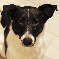 Iggy, pies do adopcji