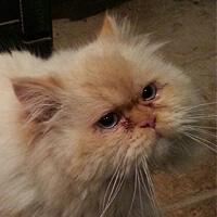 Puchacz, kot perski do adopcji