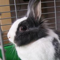 Shima, królik do adopcji, Poznań
