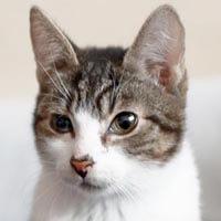 Daniels, kot do adopcji, Poznań, Dopiewo