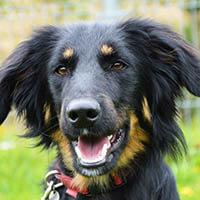 Gordi, pies do adopcji, poznań, Dopiewo
