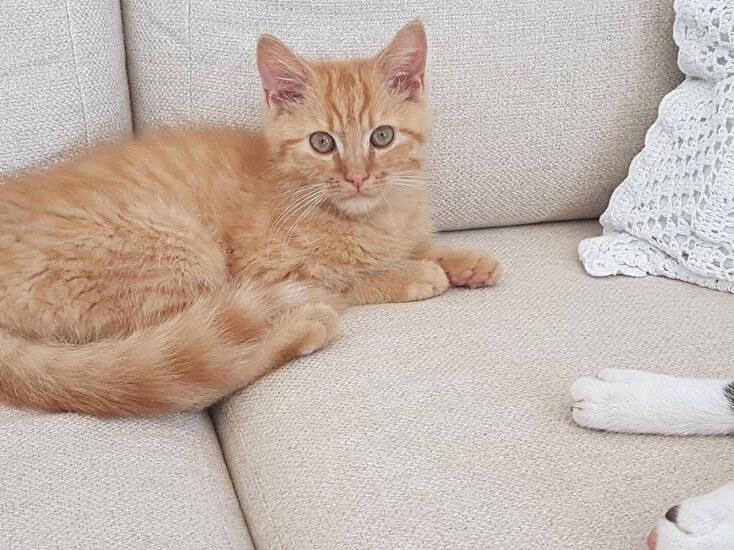 Dąbrowa - zaginął rudy kot!