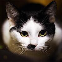 Chaplin, kot do adopcji, Poznan, Dopiewo