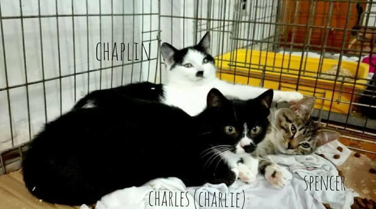 Charlie, Spencer i Chaplin - nowe kociarniane maluchy