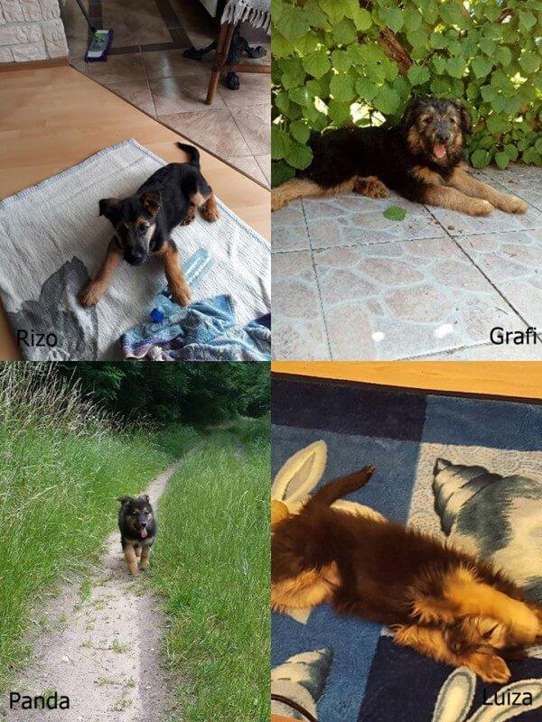 Psi telegram adopcyjny