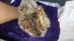 Kłębuszek - kotek z uciętą łapką