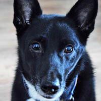 zulu, pies do adopcji, poznań, dopiewo
