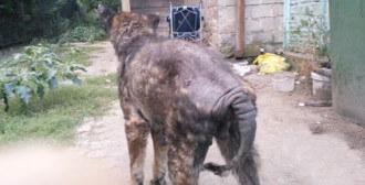 Mosina - Reno - schorowany, z licznymi guzami na podbrzuszu, łysą skóra i muchami w ranach