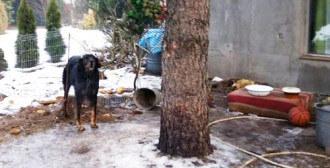 Poznań - starszy psiak żyjący na łańcuchu na ogródkach działkowych
