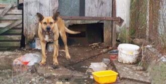 Gaj Wielki - pies Nobos na krókim łańcuchu i w małym, zgraconym kojcu