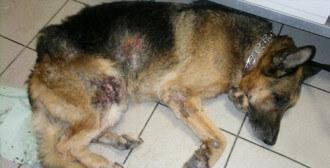 Poznań Antoninek - pies z ropnym, głębokim zapaleniem skóry i gronkowcem
