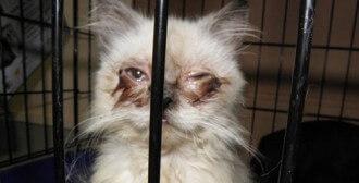 Poznań - 5 chorych kotów przywiezionych z Belgii zostały odebrane interwencyjnie