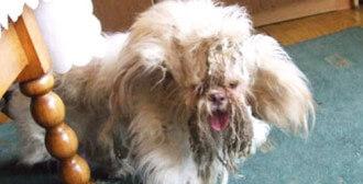 Swarzędz - zaniedbany 4-letni piesek Jeffrey, który tylko raz był u fryzjera