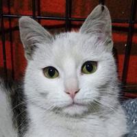 Nala, kot do adopcji, Poznań, Dopiewo