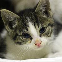 Kalarepka, kot do adopcji, Poznań, Dopiewo