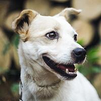 Kodi, pies do adopcji, Poznań, Dopiewo