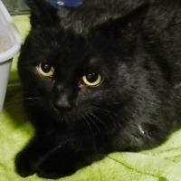 Jeżynka, czarna kotka do adopcji, Poznań