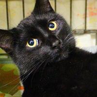 Maki, czarny kot do adopcji, Poznań