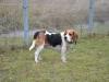 Benji, pies rasy Beagle do adopcji