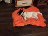 kiwi-pies-do-adopcji-poznan-dopiewo-6