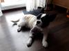 kiwi-pies-do-adopcji-poznan-dopiewo-8
