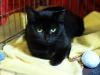13.11.2015 r. Manila piękna czarna kotka do adopcji.