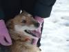 santi-pies-do-adopcji-poznan-dopiewo-3