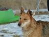 santi-pies-do-adopcji-poznan-dopiewo-6