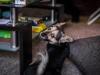 zibi-pies-do-adopcji-poznan-dopiewo-10