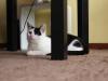 Zula czarno-biała kotka do adopcji