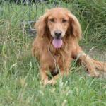 Kier pies do adopcji
