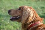 Kier, pies do adopcji