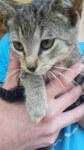 grzecznosciowo szara kotka szuka domu (1)