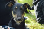 Koni - pies do adopcji