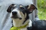 Milo - pies do adopcji